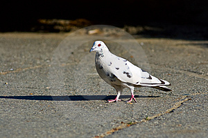 Walking Pigeon Stock Photo - Image: 5304370