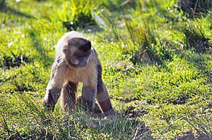 Cheeky Monkey Stock Images - Image: 5305214