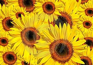 Slnečnice v plnom kvete v lete, ktoré tvoria pozadie.