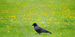 Walking Crow Royalty Free Stock Photography - Image: 5320047
