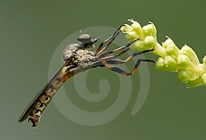 The Mighty TABANIDAE Stock Photography - Image: 5321462