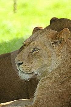 雌狮 库存照片 - 图片: 5322710