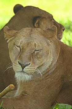 雌狮 免版税图库摄影 - 图片: 5322817