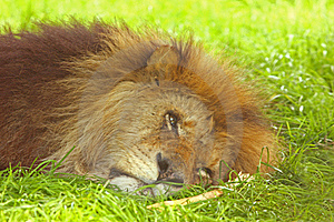 King Of The Jungle Stock Photography - Image: 5324292