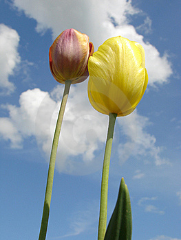 Two Tulips Royalty Free Stock Photos - Image: 5334128