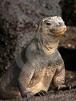 Marine Iguana Royalty Free Stock Photography - Image: 5336437