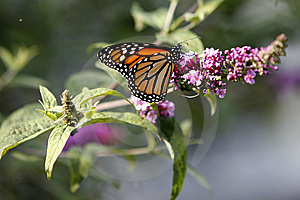 Monarch Royalty Free Stock Photography - Image: 5337627