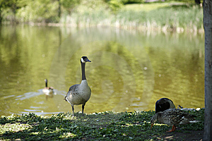 Canadian Goose Stock Photography - Image: 5339492