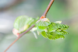 Small Leafs Royalty Free Stock Photography - Image: 5342577