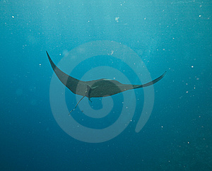 Manta (manta Birostris) Royalty Free Stock Photography - Image: 5349737