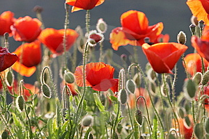 Poppy In The Sun Stock Images - Image: 5352244