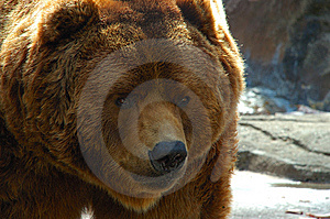 Brown bear face close up Stock Images