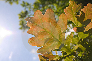 Leaf Of Oak Tree Royalty Free Stock Images - Image: 5363649