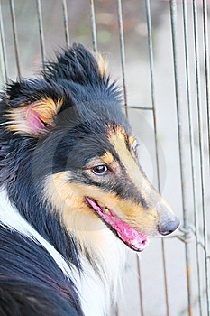 Shetland Sheepdog  Royalty Free Stock Images - Image: 5364479