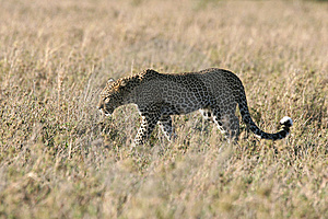 Leopard Walking Through Grass Stock Photography - Image: 5367622