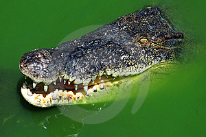 Crocodile Swimming Stock Photography - Image: 5392952