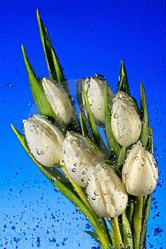 Seven White Tulips Stock Photo - Image: 5405440