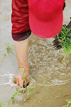Transplant Rice Seedlings Royalty Free Stock Image - Image: 5408896