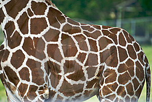 Giraffe Hide Stock Photography - Image: 5423212