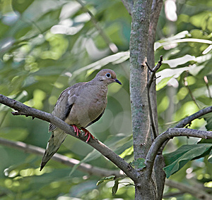 Mourning Dove Stock Photo - Image: 5431010