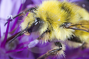 Bumble Bee Gathering Pollen Stock Photography - Image: 5433972