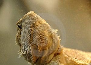 Curious Dragon Lizard Stock Photo - Image: 5434470
