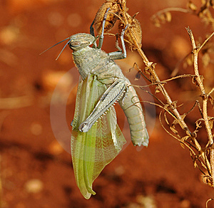 Ef_grass_hopper_02 Royalty Free Stock Photography - Image: 5452977