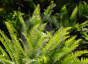 Ferns In Sunlight Stock Image - Image: 5454901