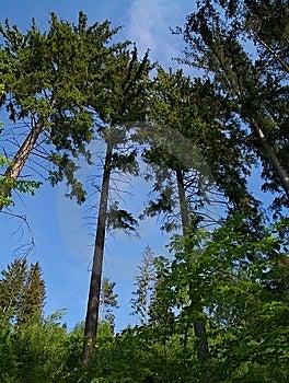 Mighty Pine Trees Royalty Free Stock Photo - Image: 5455565