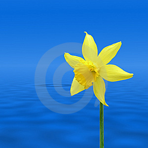Daffodil Over Water Royalty Free Stock Image - Image: 5467446