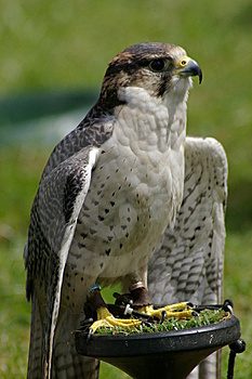 Perched Falcon Stock Image - Image: 5482761