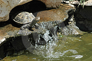 Tortoise Beforе The Leap Into The Water Royalty Free Stock Images - Image: 5485289