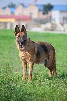 Germany Sheepdog Royalty Free Stock Images - Image: 5486689