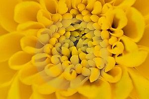 Single Yellow Chrysanthemum Royalty Free Stock Image - Image: 5493386