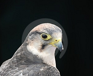 Bird Of Prey Stock Photo - Image: 5495880