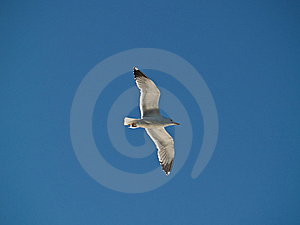 Seagull Soaring In The Sky Stock Photos - Image: 5496423