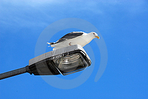 Gull Stock Images - Image: 5497114
