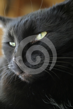 Black Cat Portrait Royalty Free Stock Photo - Image: 552555