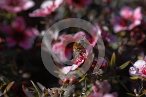 Macro Of Bee On Pink Flower From Behind Royalty Free Stock Image - Image: 559246