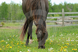 Brown Horse Grazing In Pasture Royalty Free Stock Photos - Image: 5506798