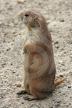 Cute Prairie Dog Royalty Free Stock Photos - Image: 5506938
