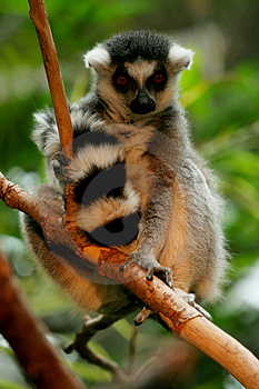 Ringtail Lemur Perching In Tree Royalty Free Stock Photos - Image: 5507848