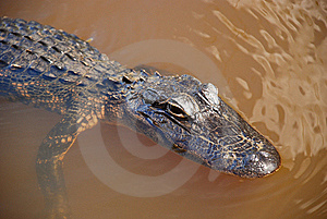 Gator Stock Photos - Image: 5513703