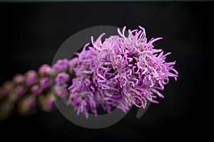 Purple Flower Close Up With Selective Focus Royalty Free Stock Photography - Image: 5515237