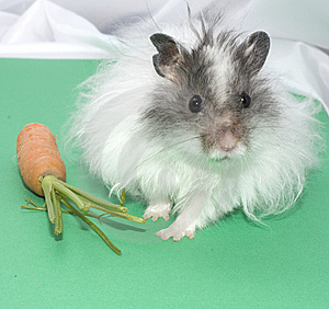 dwarf winter white russian hamster price