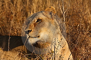 Lioness In Sabi Sands Stock Image - Image: 5516981