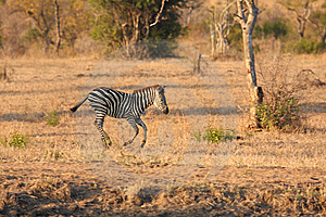 Zebra In Sabi Sands Stock Image - Image: 5517861