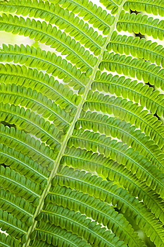 Fern Leaves Royalty Free Stock Photos - Image: 5522328