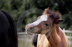 Welsh Pony Foal Royalty Free Stock Photo - Image: 5525365