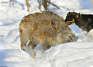 Wild Boar Hunting Stock Photography - Image: 5529292
